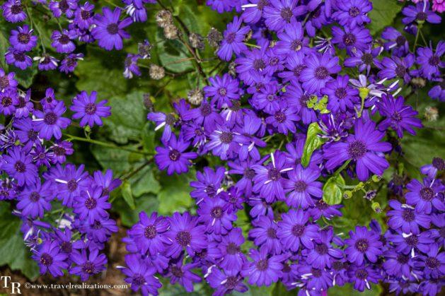 Mendocino Coast Botanical Gardens - A Photo Essay, blue Flowers, Travel Realizations