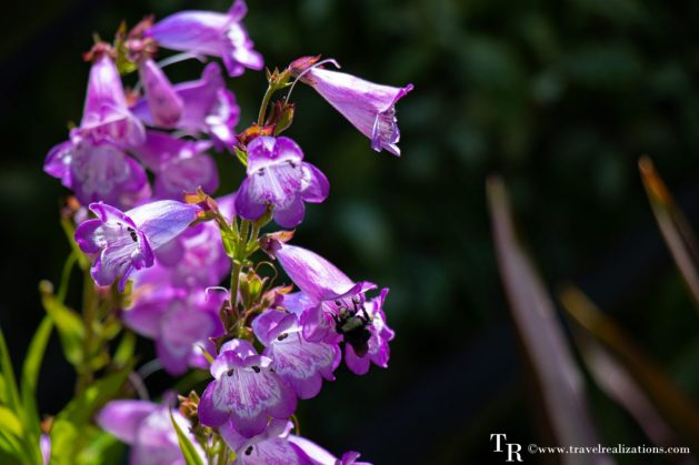 Mendocino Coast Botanical Gardens - A Photo Essay, purple Flowers, Travel Realizations