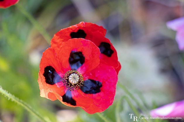 Mendocino Coast Botanical Gardens - A Photo Essay, red Flowers, Travel Realizations