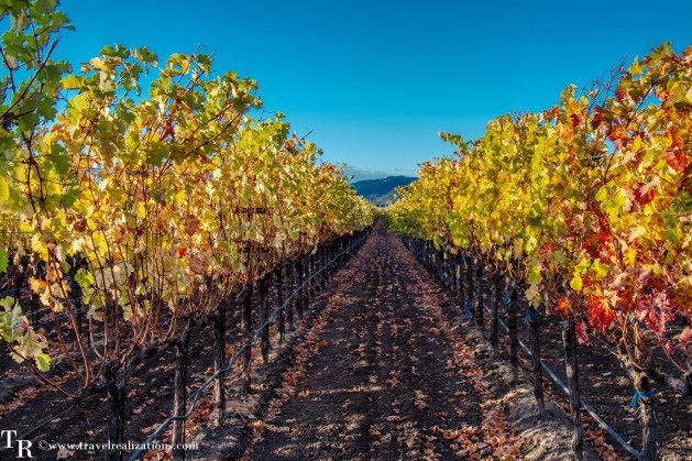 Fall colors in Napa Valley, sun-dappled gold vineyards and beautiful wineries along the Silverado Trail, Travel Realizations