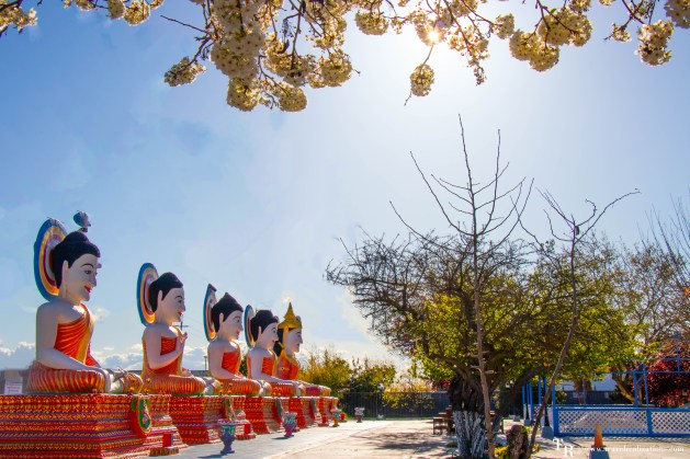 San Francisco Bay Area gardens to visit in Spring, Travel Realizations, Cherry blossom at Wat Dhammararam - A Buddhist Temple