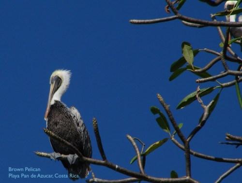 Brown Pelican_Playa Pan de Azucar