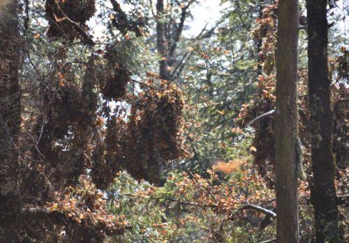 Oyamel trees coated with Mariposas Monarcas