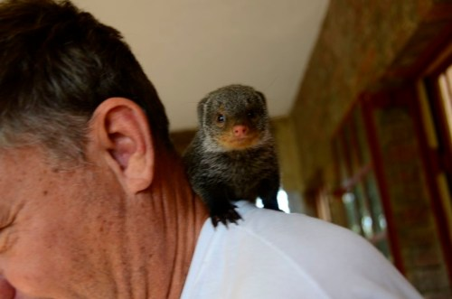 Banded Mongoose pup