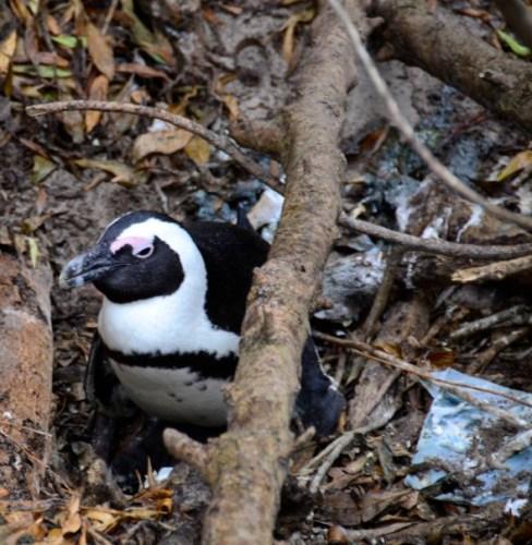 Penguin and litter