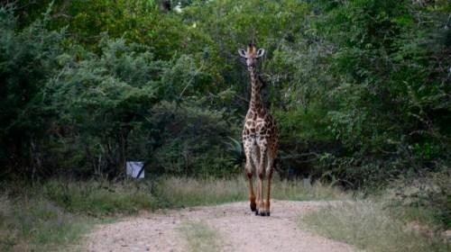 Giraffe Marloth Park