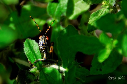 Elegant Grasshopper or Rainbow Locust marloth park