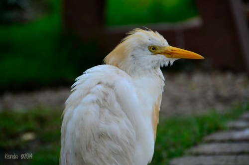 Cattle Egret- South Africa and around the world