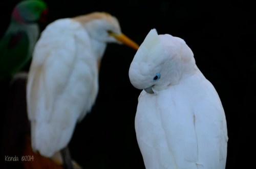 Ducorp's Cockatoo - Solomon Islands