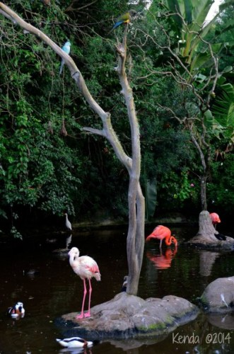 Greater Flamingo and Caribbean Flamingo