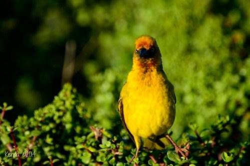 Cape Weaver Addo National Park
