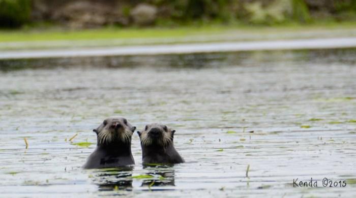 Otter6