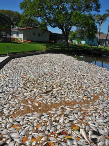 Dead fish Cocoa Beach