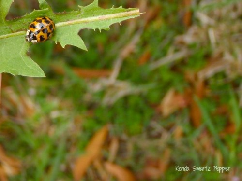 Lady Beetle Cruising on a Leaf