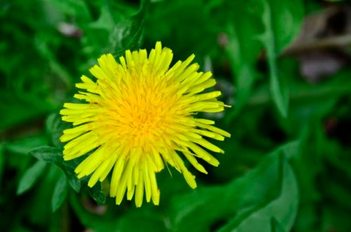 Save bees, save dandelions