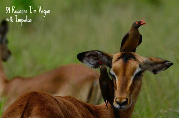 54 Reasons I'm vegan_16 Impalas