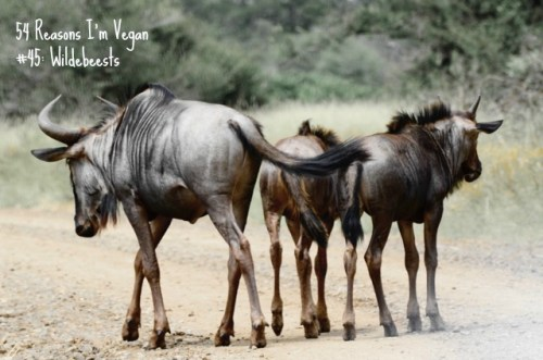45_wildebeests