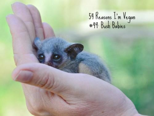 Baby Bush Baby_Marloth Park