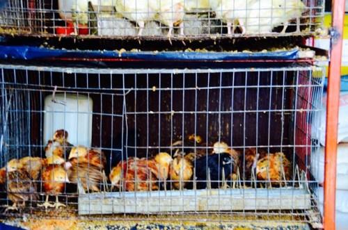 Sad chickens
