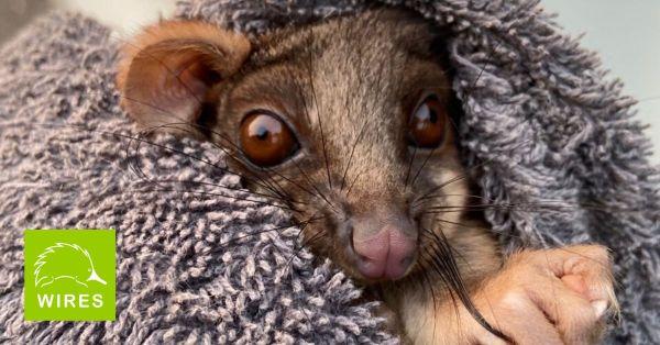 Australian wildlife impacted by fires, Possum