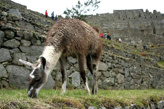 llama how to get to machu picchu on a budget peru ruins