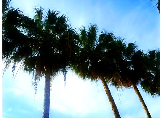 Bahama Palm trees