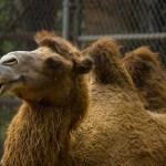 Egypt Scams: Never Ride A Random Man's Camel