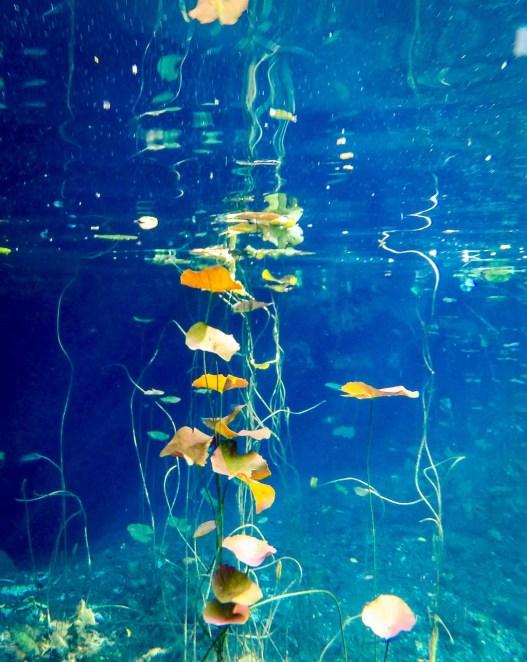 Cenote Chikin Ha Pflanzen Wasser