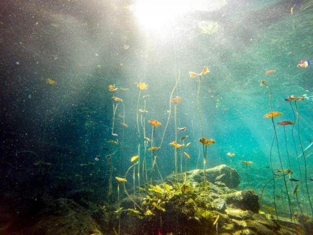 Wasserpflanzen im Cenote Chikin Ha