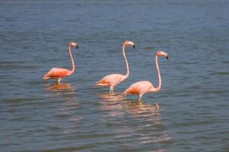 Pinke Flamingos in Rio Lagartos