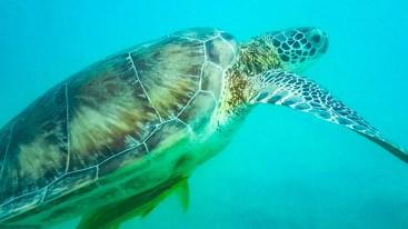 Schildkröten Schnorkeln Akumal Beach