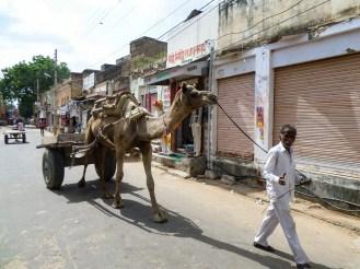 Das Transport mit Kamelen ist in Indien üblich