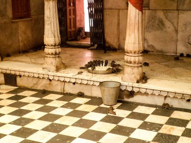 Rattentempel Bikaner Deshnoke