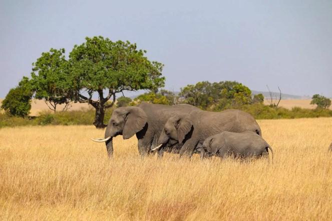 Elephanten Masai Mara Nationalpark