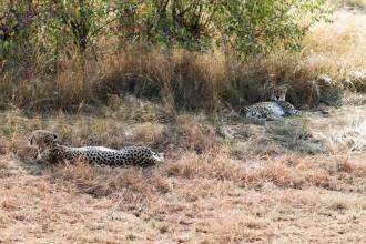Geparden Masai Mara
