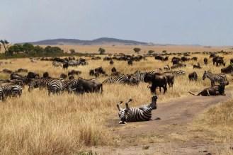 Gnus Zebras Masai Mara
