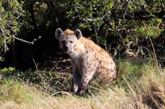 Hyäne Massai Mara
