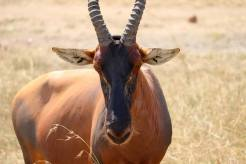 Leierantilope Kenia