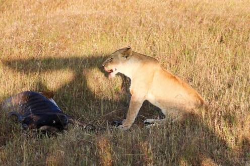 Löwe frisst Gnu