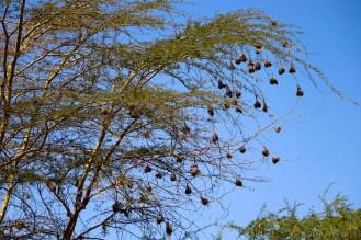 Nester Baum Kenia