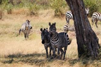 Zebras Masai Mara