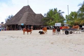 Kühe Nungwi Beach