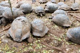 Riesenschildkröten Changuu Island