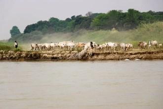 Kühe trinken Fluss