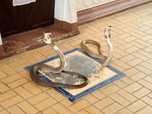 Königskobras im Queen Saovabha Memorial Institute