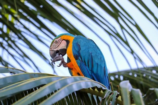 Gelbbrustara Dschungel Peru