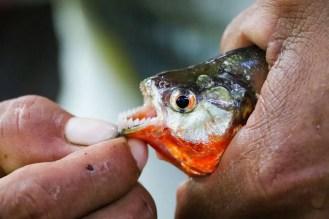 Piranha Peru