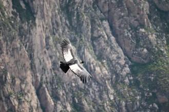Flug des Andenkondors