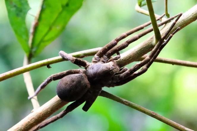 Giftspinne Amazonas