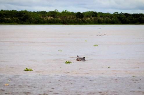 Pinke Delfine in Peru
